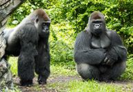 2 gorillas